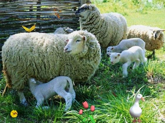 ovelha 2 a